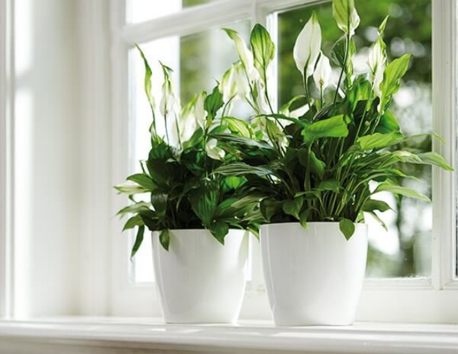 3 Manfaat Luar Biasa Menanam Bunga Peace Lily Di Dalam Ruangan